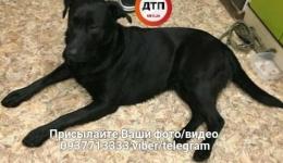 Киев, найдена собаку. Поиск хозяина! 06.02.2018